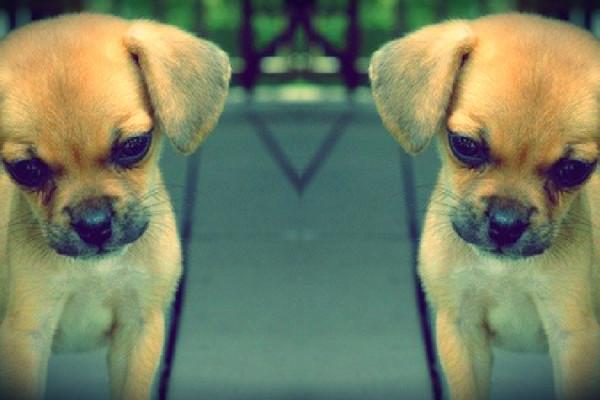 clonazione cani