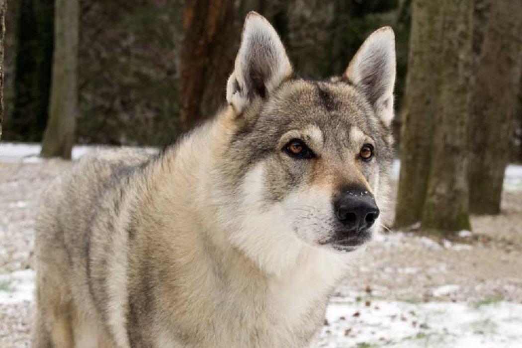 creta ibrido lupo cane